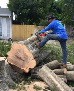 guy removing a large tree in jupiter florida